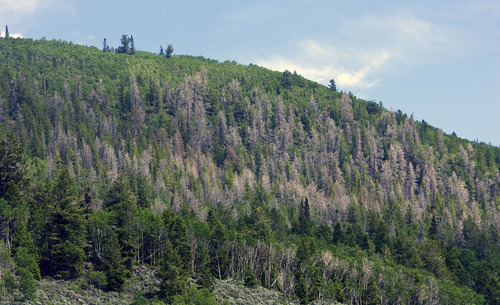 Al Hartmann  |  The Salt Lake Tribune Spruce beetles are killing off Engelmann spruce in large swaths on the Fishlake National Forest and across Utah.