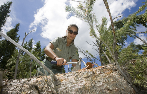 Al Hartmann  |  The Salt Lake Tribune Forest Sevice entomologist Danielle Reboletti searches for spruce beetles on a downed tree on the Fishlake National Forest.