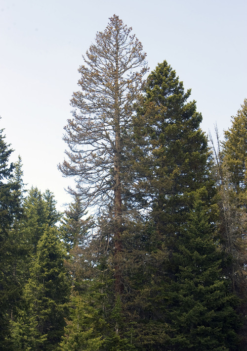 Al Hartmann  |  The Salt Lake Tribune  A dead Engelmann spruce stands out on Utah's Fishlake National Forest.  The trees grow slow at high elevations in the west. Spruce beetles have thrown their future in doubt.
