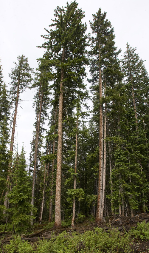 Utah 39 s spruce forests are vanishing the salt lake tribune for Mature pine trees
