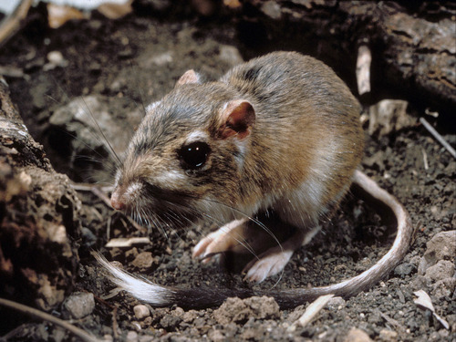 The Obama administration is taking steps to extend federal protections to hundreds of animals and plants across the country, including this Texas kangaroo rat, compelled by a pair of recent legal settlements that targeted species mired in bureaucratic limbo even as they inch toward potential extinction.  (AP Photo/Texas Parks And Wildlife Department, File)
