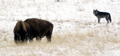 Steve Griffin  |  Tribune file photo A wolf from the Druid Peak pack pauses to watch two bison in Yellowstone National Park in December 2002.