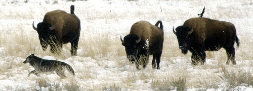 Steve Griffin  |  Tribune file photo A wolf from the Druid Peak pack gets chased from its resting spot by three bison in Yellowstone National Park in December 2002.