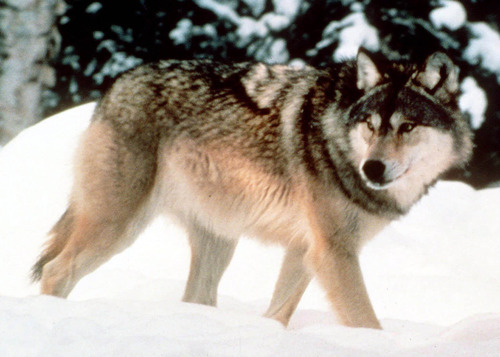Associated Press file photo A gray wolf walks through the snow in Yellowstone National Park in Wyoming.