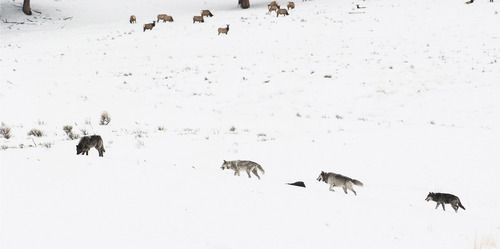 Photo courtesy Kim Kaiser Wolf 253, far right, takes up the rear with other members of the Druid pack in the Little America area of Yellowstone National Park.