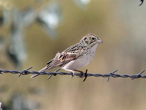 Courtesy of Tim Avery Baird's sparrow.