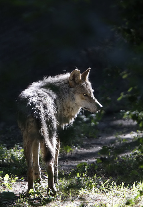 An adult Mexican Gray wolf keeps watch at the Endangered Wolf Center, Thursday, July 1, 2010 in Eureka, Mo. The wolves are bred in captivity and released in New Mexico and Arizona, and now Utah officials fear their state will be included.  (AP Photo/Tom Gannam)