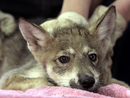Tom Gannam  |  The Associated Press In this July 1, 2010 photo, one of five eight-week-old Mexican Gray wolf pups gets a quick check-up at the Endangered Wolf Center  in Eureka, Mo. The wolves are bred in captivity and released in New Mexico and Arizona, and now Utah officials fear their state will be included.