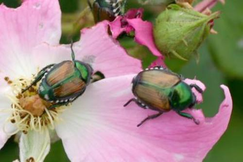The Japanese beetle feeds on more than 300 species of plants and trees and is capable of inflicting millions of dollars in damage to gardens and lawns, and fruit and shade trees. Utah officials claim cautious success because no Japanese beetles were caught in Orem this year.