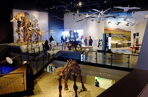 Steve Griffin  |  The Salt Lake Tribune   Dinosaur skeletons in the new Natural History Museum of Utah in Salt Lake City, Utah Saturday, November 5, 2011.