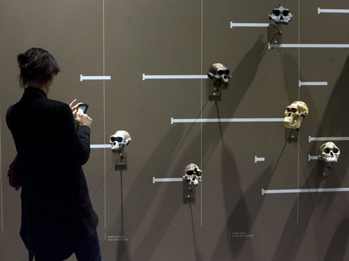 Steve Griffin  |  The Salt Lake Tribune   A display of skulls is part of the Life area of  the new Natural History Museum of Utah in Salt Lake City, Utah Saturday, November 5, 2011.