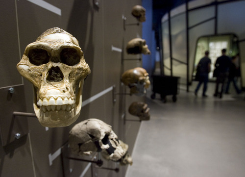 Steve Griffin  |  The Salt Lake Tribune  A display of skulls is part of the Life area of  the new Natural History Museum of Utah in Salt Lake City on Saturday, Nov. 5, 2011.