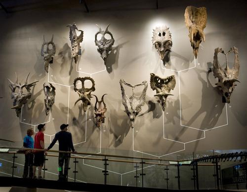 Steve Griffin  |  The Salt Lake Tribune   People stop to look at a wall of horned dinosaur skulls in the new Natural History Museum of Utah in Salt Lake City, Utah Saturday, November 5, 2011.