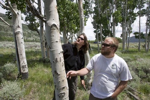 Al Hartmann  |  The Salt Lake Tribune Liz Hebertson, entomologist, left, and Zachary Williams, forestry technician with the U.S Forest Service, check the health of Aspen trees in the Pando clone. The trees cover an area of 100-plus acres, making up the world's largest living organism near Fish Lake in south-central Utah.  The Pando clone is not regenerating (sprouting small trees) making its continued existence in question.