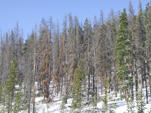 Brandon Loomis   The Salt Lake Tribune The death of evergreens like these near Breckenridge, Colo., could open opportunities for aspens to flourish.