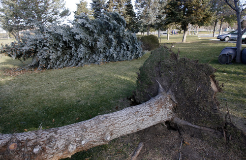 Francisco Kjolseth  |  The Salt Lake Tribune Several large pines at Sunnyside Park were toppled on Thursday when high winds hammered the state.
