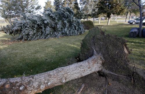 Francisco Kjolseth  |  The Salt Lake Tribune Several large pines at Sunnyside Park were toppled on Thursday when high winds hammered the state.