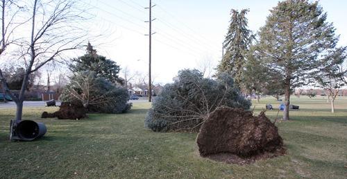 Steve Griffin  |  The Salt Lake Tribune High winds downed pine trees at Sunnyside Park in Salt Lake City on Thursday.