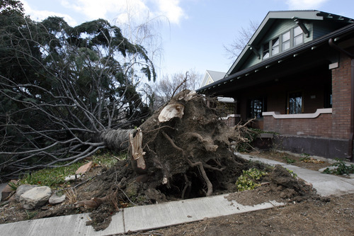 Francisco Kjolseth  |  The Salt Lake Tribune A large pine at 1121 E. 200 South in Salt Lake City was uprooted by the wind storm on Thursday.