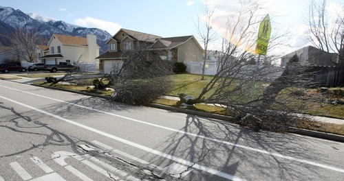 Steve Griffin  |  The Salt Lake Tribune Wind-toppled trees lie in the park strip of a Layton neighborhood Thursday.