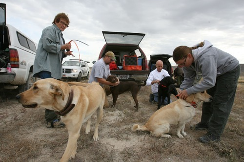 Steve Griffin  |  The Salt Lake Tribune file photo  Cadaver dogs from several law enforcement agencies in the state are unloaded as they get ready to search for the body of Susan Powell in an area around Topaz Mountain in Juab County about 40 miles north west of Delta in September.