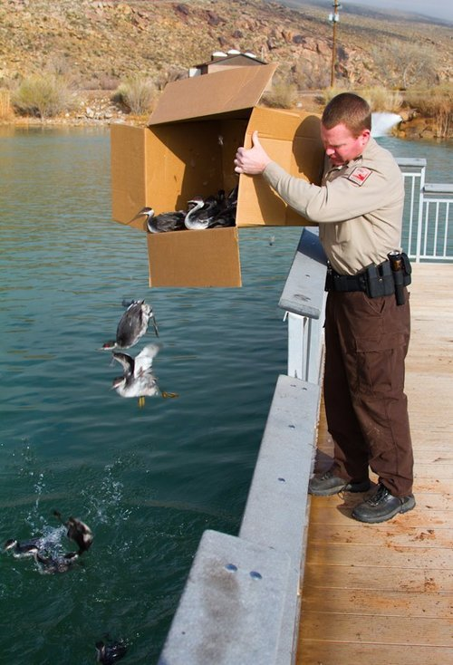 Utah DWR conservation officer Christopher Shultz releases Eared Grebes into Quail Lake. (DWR/Lynn Chamberlain photo)