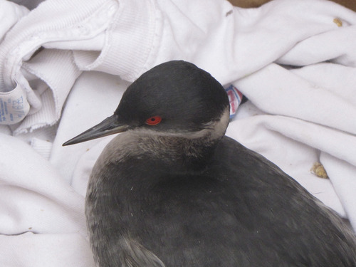 Mark Havnes   The Salt Lake Tribune  An Eared Grebe waits in a box on Wednesday to be released after crash-landing in Cedar City on Monday night apparently thinking some areas were water. At least 1,000 birds died and 2,000 survived to be transferred to reservoirs in Washington County.