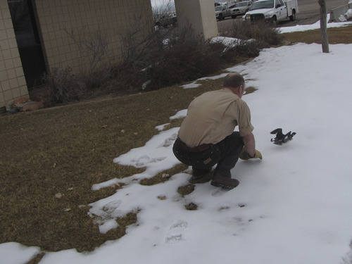 Mark Havnes   The Salt Lake Tribune Division of Wildlife Resources biologist Keith Day handles an Eared Grebe that was one of thousand injured when they crash-landed in Cedar City on Monday night. The surviving birds will be released on reservoirs in Washington County that do not freeze.