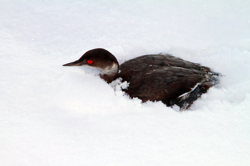 Utah Division of Wildlife Services, Lynn Chamberlain     The Associated Press  In this photo provided by Utah Division of Wildlife Services, a surviving grebe huddles in the snow Tuesday after thousands of the birds crash landed throughout southern Utah on Monday night.