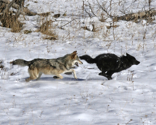 Photo by Daniel Stahler, National Park Service Sibling wolves play in Yellowstone National Park. New research out of Utah State University improves the way scientists predict how wildlife will respond to warming climates by analyzing how Yellowstone wolves have changed since their reintroduction to the park in 1995.  The study looks specifically at these animals' fur, tracking how the prevalence of dark versus gray coats has changed in relation to changes in population size.