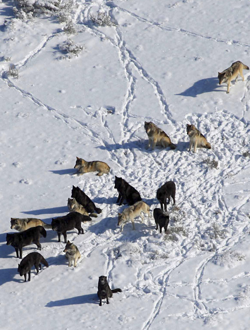 New research out of Utah State University improves the way scientists predict how wildlife will respond to warming climates by analyzing how Yellowstone wolves have changed since their reintroduction to the park in 1995.  The study looks specifically at these animals' fur, tracking how the prevalence of dark versus gray coats has changed in relation to changes in population size. Photo by Daniel Stahler, National Park Service