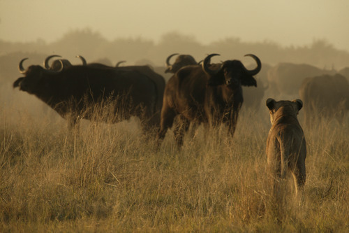 A lioness dubbed Mau di Tau faces off against a herd of African buffalo in the documentary
