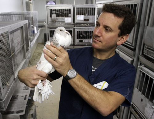 Rick Egan  | The Salt Lake Tribune   U. biology professor Michael Shapiro, holds an English Pouter pigeon, Thursday, December 15, 2011.  Shapiro studies the genetics of pigeons. His research has found that breeds that have similar appearances can be genetically more distant than those whose phenotypes are far apart.