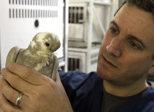 Rick Egan  | The Salt Lake Tribune   U. biology professor Michael Shapiro, holds an African owl pigeon, Thursday, December 15, 2011.  Shapiro studies the genetics of pigeons. His research has found that breeds that have similar appearances can be genetically more distant than those whose phenotypes are far apart.