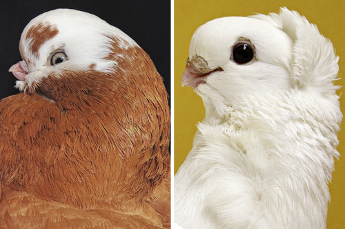 Two pigeon breeds shown here both share short beaks: the English longface tumbler, left, and the old German owl pigeon. Courtesy Mike Shapiro and Sydney Stringham  |  University of Utah