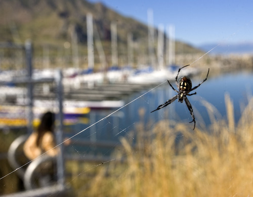 Al Hartmann  |  The Salt Lake Tribune A female orb weaver, locally known as the Salt Air spider, clings to her web in the grass above the sailboats at Great Salt Lake Marina State Park. Researchers at Westminster College are measuring mercury levels in orb weavers, which prey on brine flies and other aquatic bugs, at the Great Salt and Utah lakes.