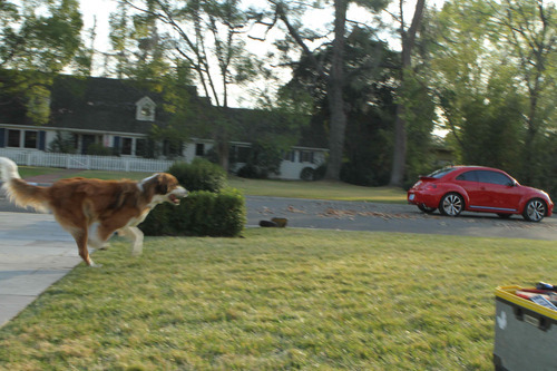 This video grab provided by Volkswagen of America Inc., shows Bolt the dog chasing the new Volkswagen Beetle. The ad will air during the Super Bowl, Sunday, Feb. 5, 2012. (AP Photo/Volkswagen of America Inc.)