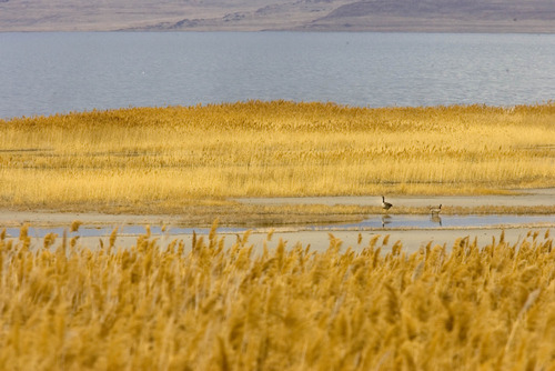 Paul Fraughton   The Salt Lake Tribune. Waterfowl wade in the waters of The Great Salt Lake on Wednesday. A new study says the lake has an economic value of more than $1.3 billion to the state.