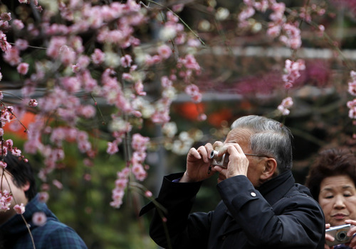 A visitor takes a picture of plum blossoms at a shrine in Tokyo, Thursday, March 8, 2012.  (AP Photo/Shuji Kajiyama)