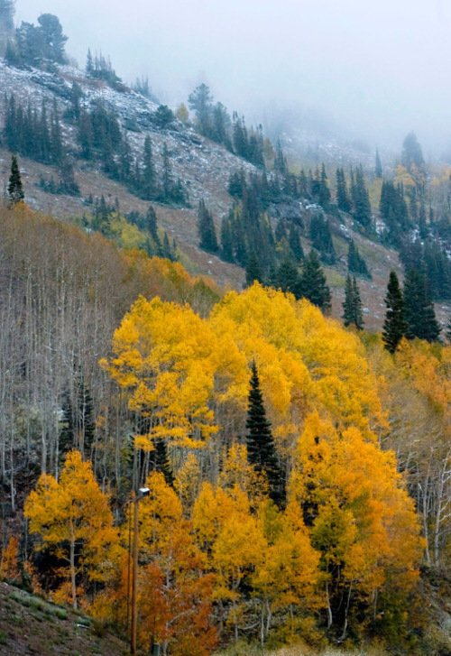 Steve Griffin  |  Tribune file photo Trees on the mountain tops above Alta Ski Resort in Little Cottonwood Canyon.