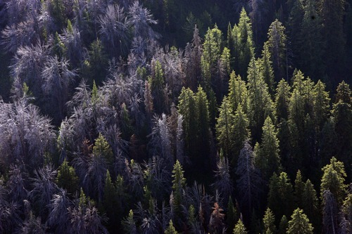 Rick Egan  |  The Salt Lake Tribune Researchers say warming winters have allowed waves of beetles to gnaw their way through millions of acres of forests in Utah and across the West.