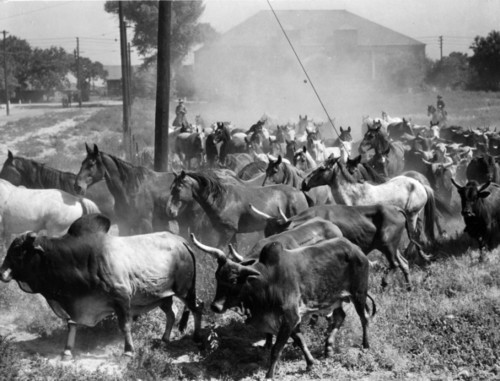 Photo courtesy Utah State Historical Society  Rodeo stock for Salt Lake City Covered Wagon Days Rodeo at the Utah State Fair Grounds.