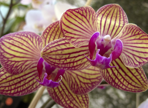 Keith Johnson  |  The Salt Lake Tribune The Utah Orchid Society's annual show at Red Butte Garden in Salt Lake City features orchids grown primarily in Utah with awards presented to the top orchids in each class. The show and sale continue Sunday.