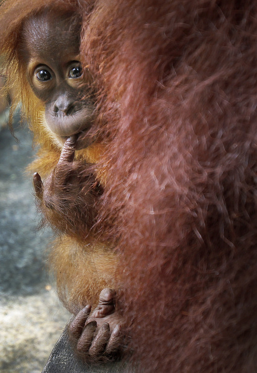 Bino, one-year-old Sumatran Orang Utan, peeps from behind his mother Tuesday, April 10, 2012 at the Singapore Zoo in Singapore. The zoo is actively involved in educating the public about wildlife conservation and has also been successful in breeding endangered species within the Zoo's premises. (AP Photo/Wong Maye-E)