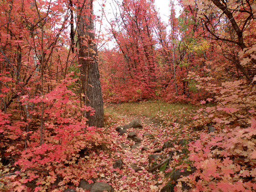 Erin Alberty  |  The Salt Lake Tribune Maple trees, shown here in the fall, are plentiful on the Pine Creek Nature Trail.