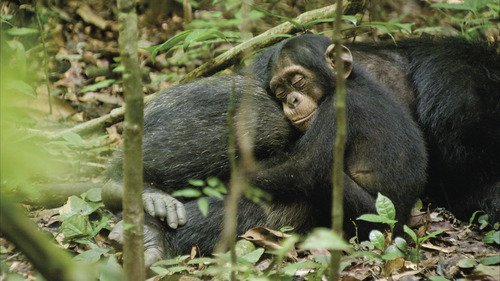 Oscar, a baby chimp, rests in the lap of his adopted father in a moment from the DisneyNature documentary