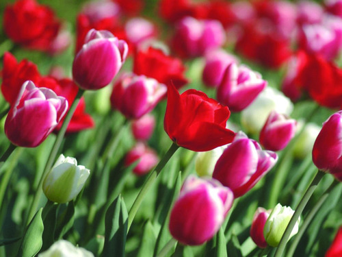 The Thanksgiving Point Tulip Festival runs Friday, April 13-Saturday, April 28. Closed Sundays.