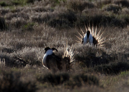 Rick Egan  | The Salt Lake Tribune   Gunnison sage grouse strut on a lek near Monticello, Utah, March 31, 2012.