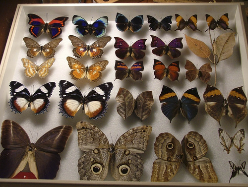 Tribune file photo The late James Pearce, a Salt Lake City physician, has collected  thousands of butterflies dating back to his childhood. The Pearce family has donated his 16,000-specimen collection to the Natural History Museum of Utah.
