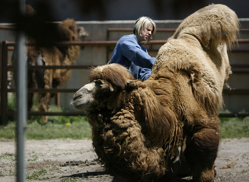 Scott Sommerdorf  |  The Salt Lake Tribune              The Bactrian camel Gobi gets some special care on Sunday from Lisa Ellison as she helps pull off hair that the animal is shedding. Hogle Zoo held an educational scavenger hunt for children in coordination with Salt Lake City's Water Week 2012 to teach them the relationship between wildlife and water. Kids go through Hogle Zoo park to look for the
